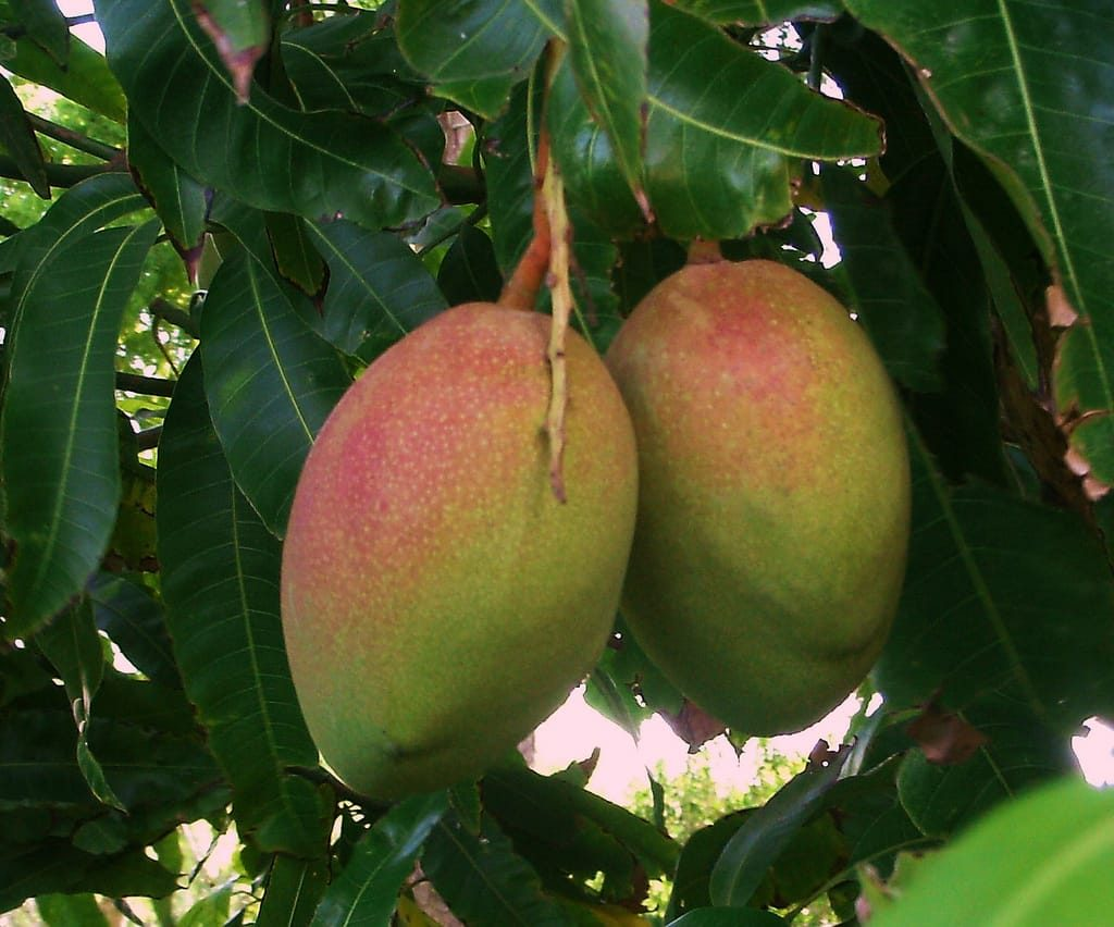 How To Grow Mango Trees On Your Own