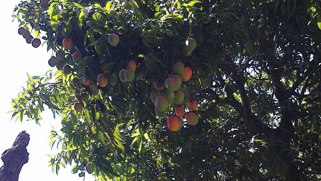 The Origin Of The Mango Fruit