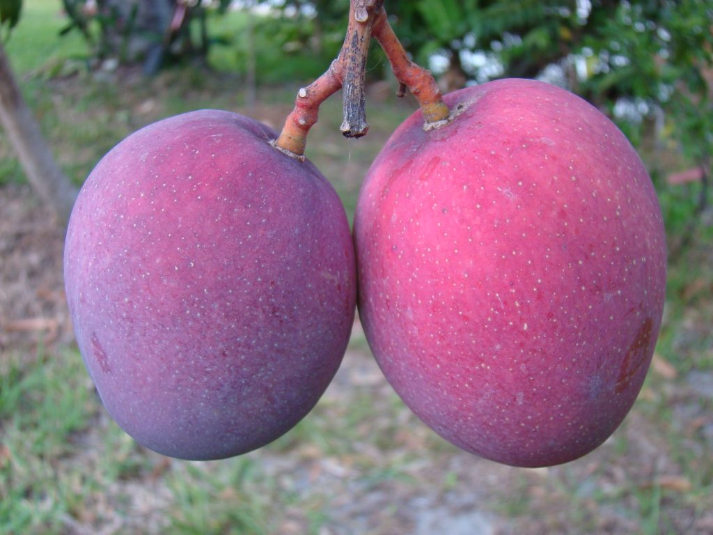 The Trouble With Tommy Atkins Mangoes Explained
